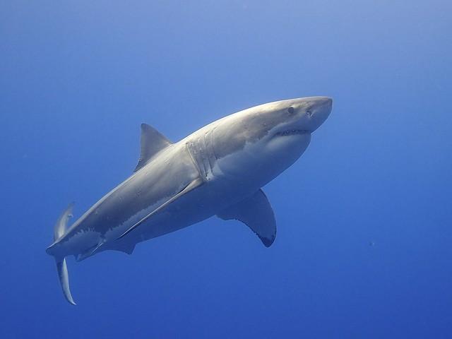 Photo of Great White Shark