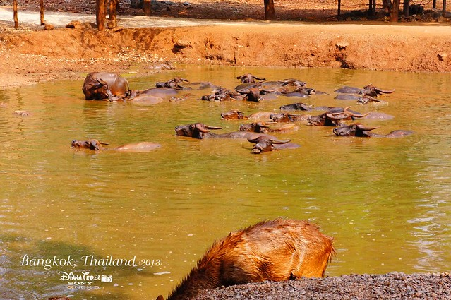 Kanchanaburi Tiger Temple 14