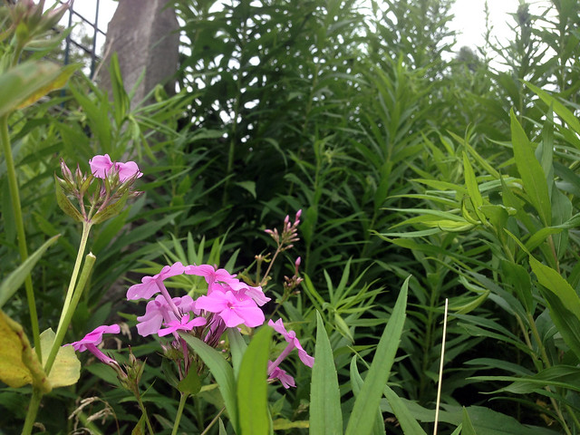 Phlox and Goldenrod
