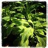The golden #sage I anted this spring is growing fast! #herbs