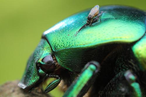 macro handheld diptera mixedlight coleoptera scarabaeidae diffusedflash fieldshooting protaetia phoridae canoneos5dmarkii canonmpe65mmf28 meikemk300