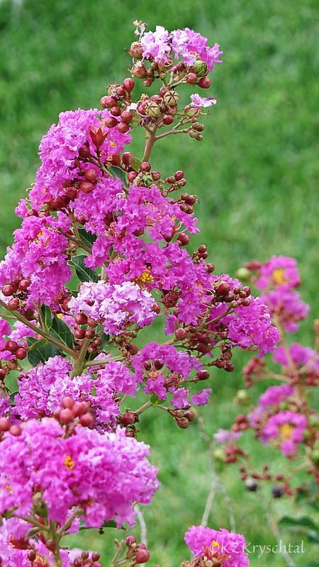 IMG_2127CrapeMyrtle