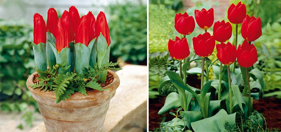 Купить тюльпаны сорт пломбир