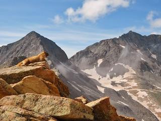 Poser Marmot with Gladstone Peak and Mt. Wilson