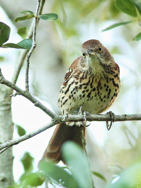 Brown Thrasher 4-20140908