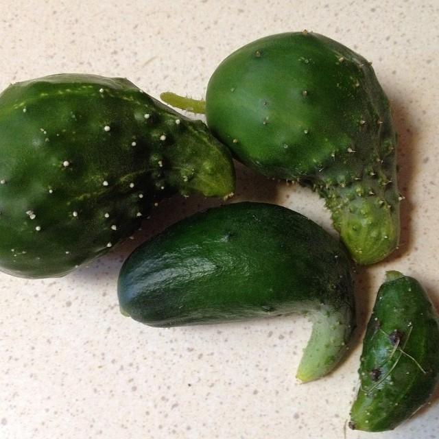 My entire cucumber harvest.