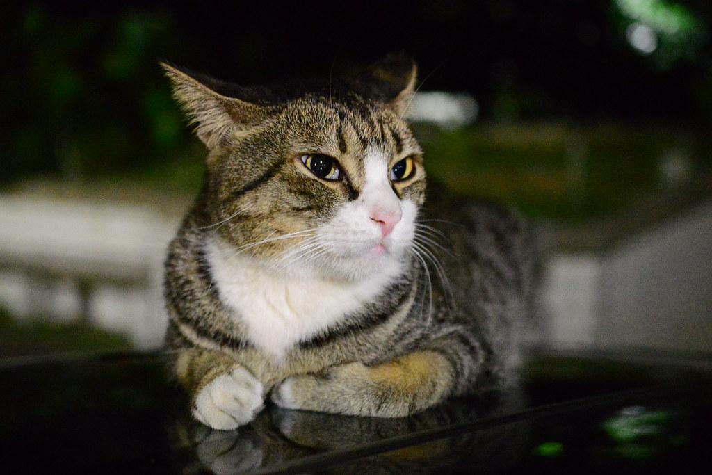 木柵 街貓