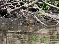 P2370895.jpg Green Heron