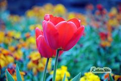 DSC_0074-FLOWER-BY-Kat-F