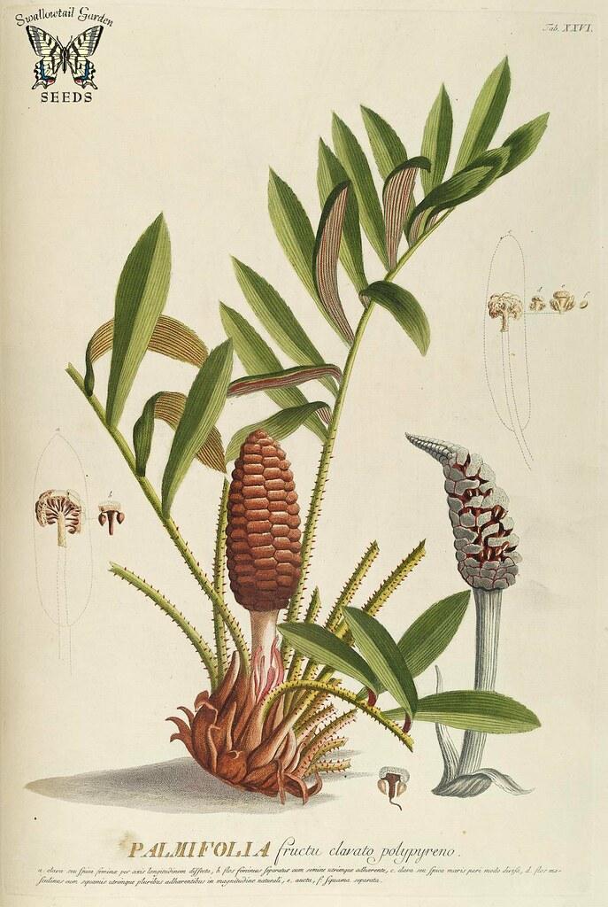 Dessin botanique d'une plante de la famille des Cycades - Image de Swallowtails golden seeds
