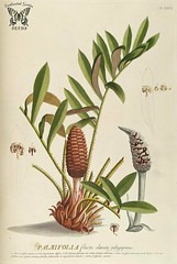 Coontie. Zamia pumila. Trew, C.J., Ehret, G.D., Plantae selectae, vol. 3: t. 26 (1752) [G.D. Ehret]