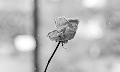 dried rose (b&w)