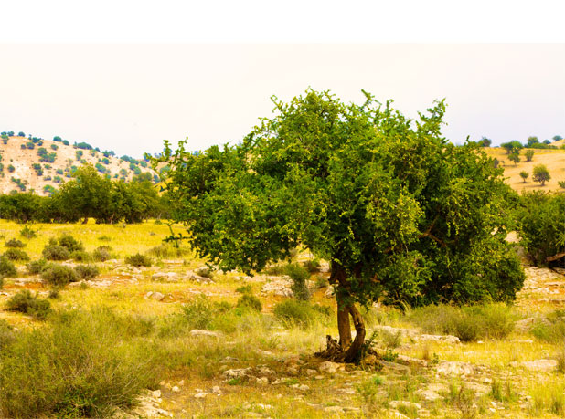 wild_argan_tree_little_atlas_mountains_1-45