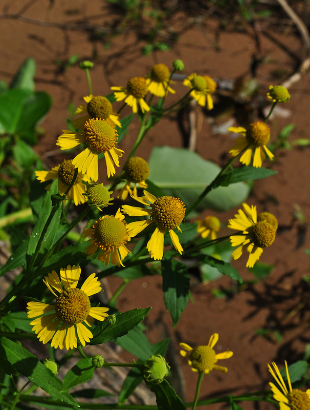 Helenium autumnale (1)