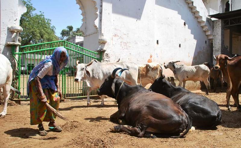 173 casa de vacas en Natwara (5)