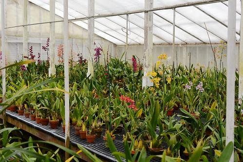 Oncidium hybrid greenhouse