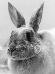 Thumper Rabbit