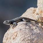 Yellow-Backed Spiny Lizard