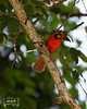 Northern Cardinal - tlh