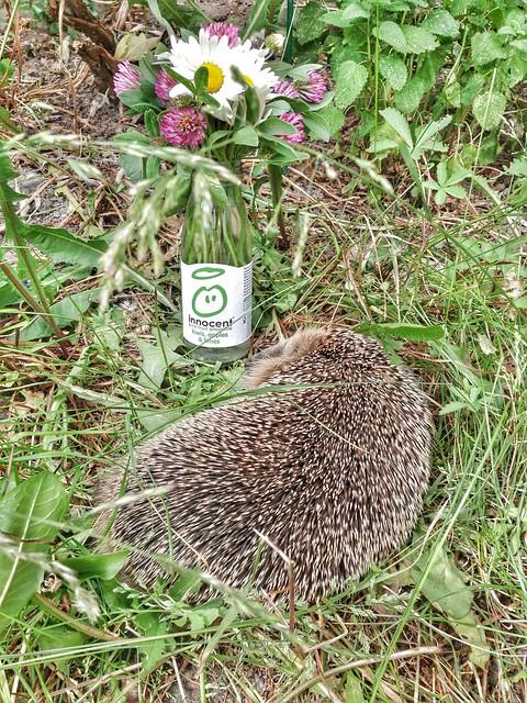 innocent hedgehog