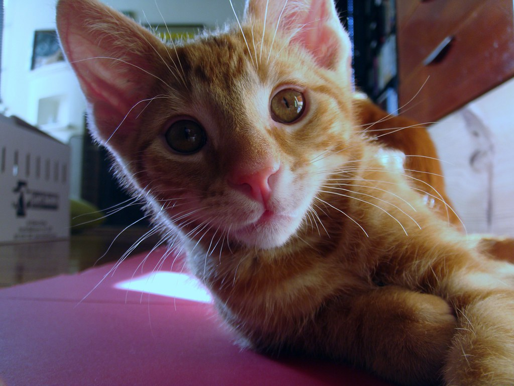 foster kitten Edmund