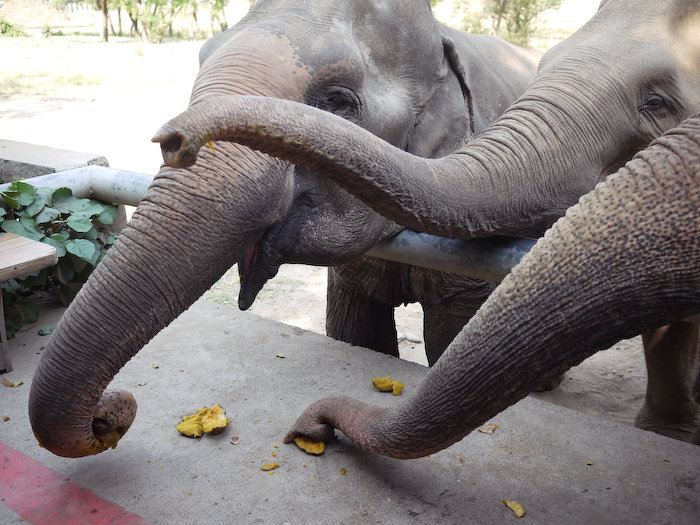 Elephant Nature Park Chiang Mai-30