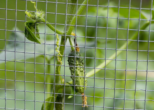 Pickle Behind Bars