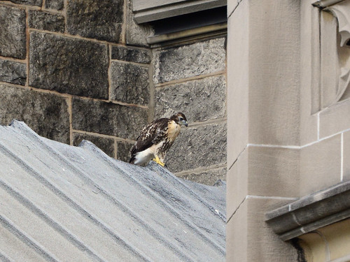 Cathedral Hawk Fledgling (2383)