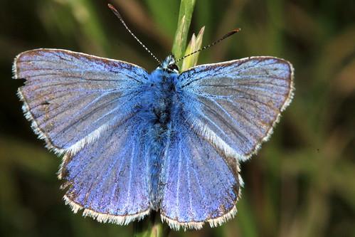 Common Blue 30391