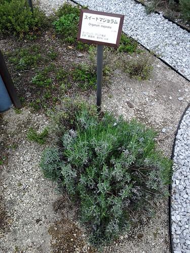 国立科学博物館 地球館屋上 ハーブガーデン スイートマージョラム