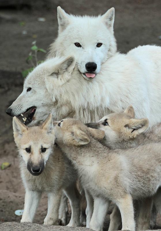 Canadese wolf Berlijn Zoo IMG_0918