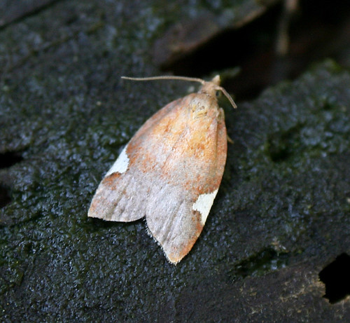 Acleris holmiana Tophill Low NR, East Yorkshire July 2014