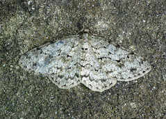 1947 The Engrailed - Ectropis bistortata
