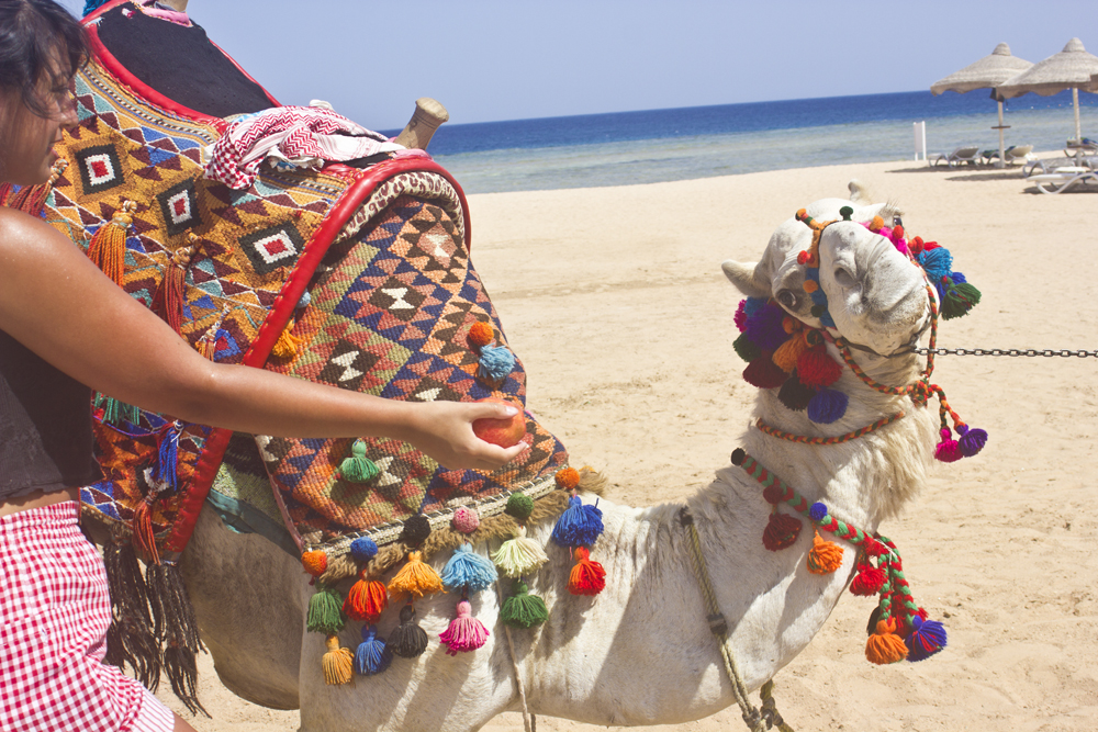 Camel Casanova Egypt Sharm El Sheikh