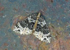 1759 Small Phoenix - Ecliptopera silaceata