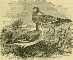 """Image from page 770 of """"A popular handbook of the birds of the United States and Canada"""" (1905)"""