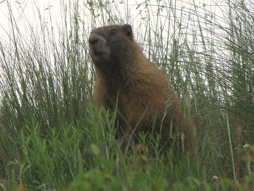 rural colorado wildlife marmot sanmiguelmountains