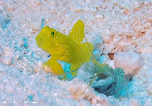 ギンガハゼ幼魚とテッポウエビの共生♪