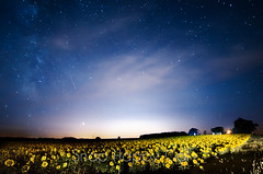 Traverse City Sunflowers and Stars