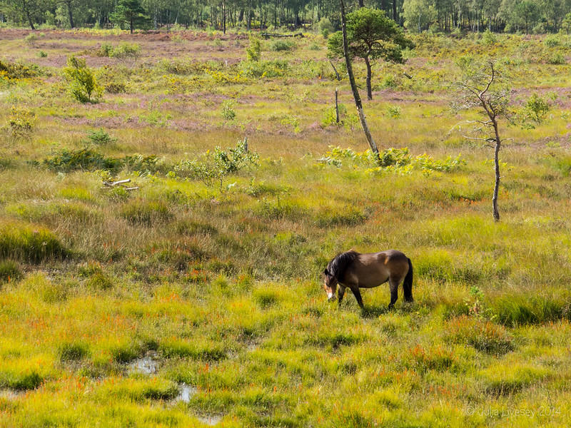 Exmoor Pony on the lower heath
