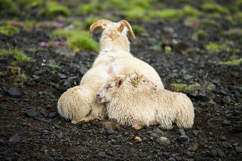 Sheep wind shelter