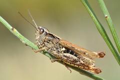 Chorthippus saulcyi female