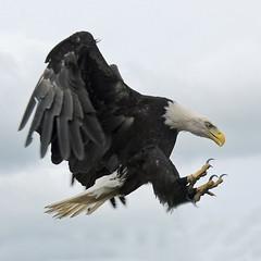 vulture(0.0), kite(0.0), animal(1.0), bird of prey(1.0), eagle(1.0), wing(1.0), fauna(1.0), buzzard(1.0), bald eagle(1.0), accipitriformes(1.0), beak(1.0), bird(1.0),