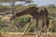 Giraffe at Ol Donyo Waterhole