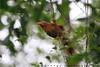 Birds of Sri Lanka , Species No 136