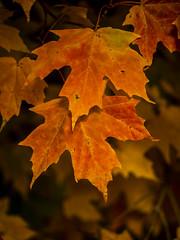 Fall_Foliage-160311