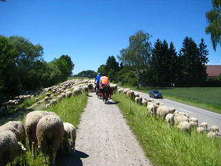 Sheep, Between Passau & Straubing