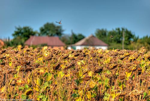 travel birds ukraine villages sunflower roads hdr 3fhdr