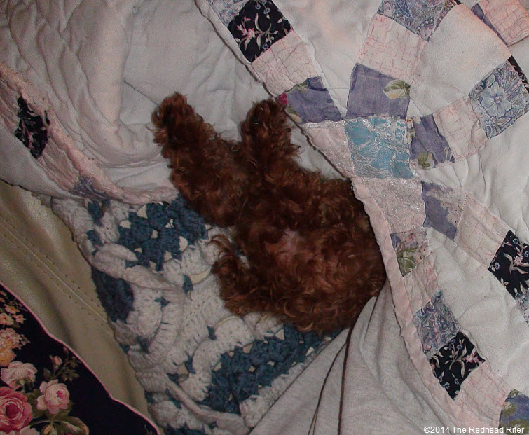 red toy poodle, wedding ring quilt