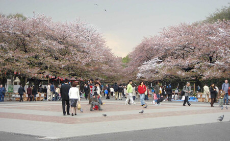 Ueno park with cherry blossoms